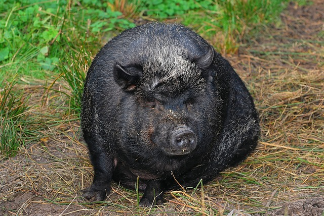 pot-belly-pig